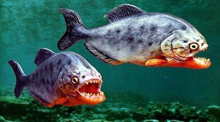 Điểm danh một số loài cá giết chết và ăn thịt bạn