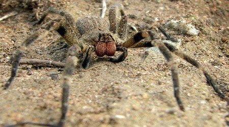 Điểm danh một số loài nhện độc nhất thế giới